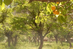 Apricots at Saspol