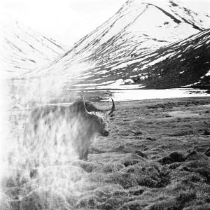Yak in front of Lasirmu La (Pass)