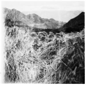 Barley harvest at Phyang